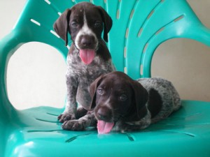 buy german shorthaired pointer