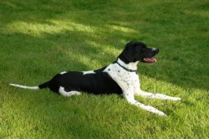 english-pointer-dogs