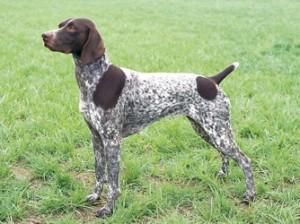German Pointer » Blog Archive » GSP Dog