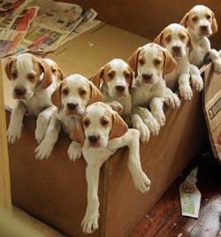 German Pointer Blog Archive German Shorthaired Pointer Puppies