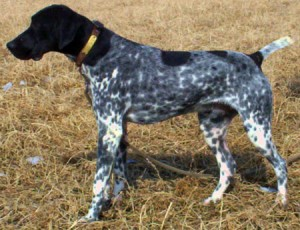 shorthaired-german-pointer