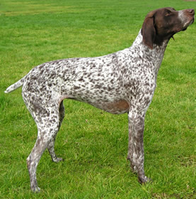 shorthaired-pointers